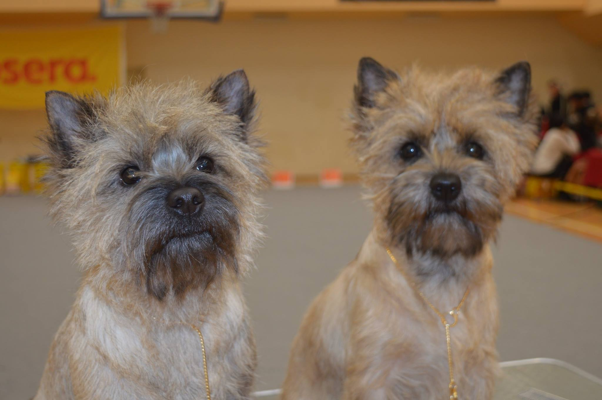 Miketo Cairn Terrier